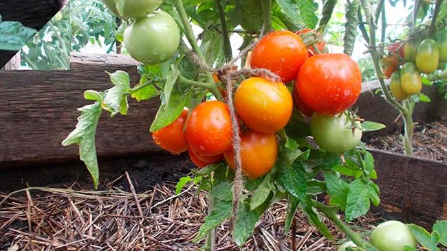 «Амурский-штамб»-томат-фото