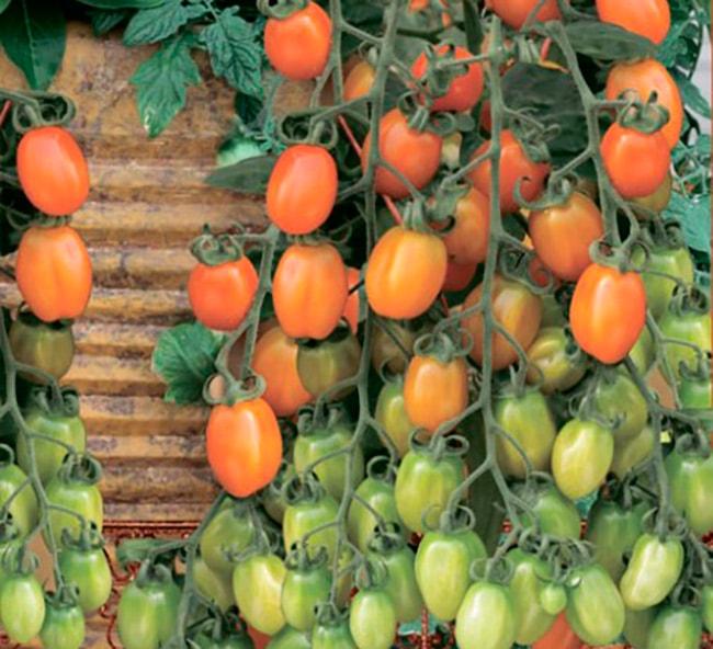 «Априкот-Дримс»-томат-фото