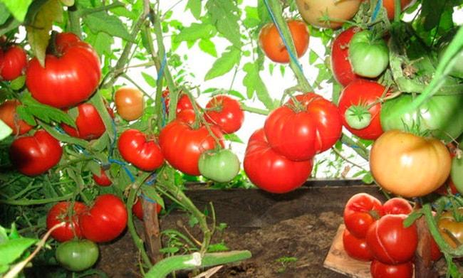 «Бабушкин-секрет»-томат-фото