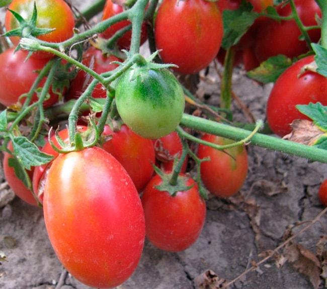 «Баттерфляй»-томат-фото