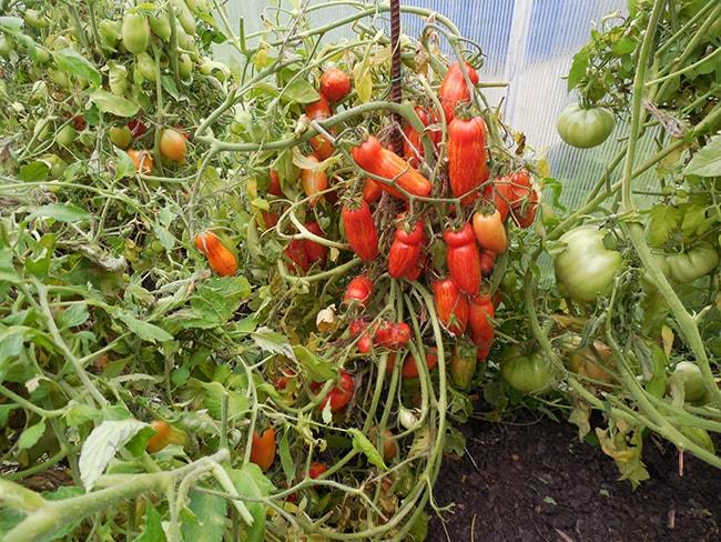 «Безумие-Каскади»-томат-фото
