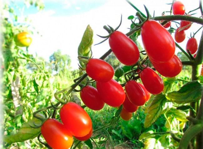 «Черри-Блосем»-томат-фото