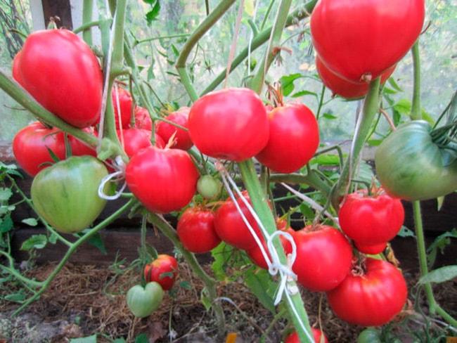 «Данко»-томат-фото