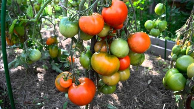 «Дубок»-томат-фото