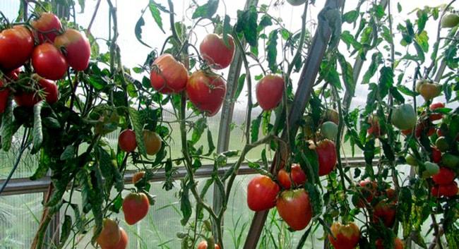 «Евпатор-F1»-томат-фото