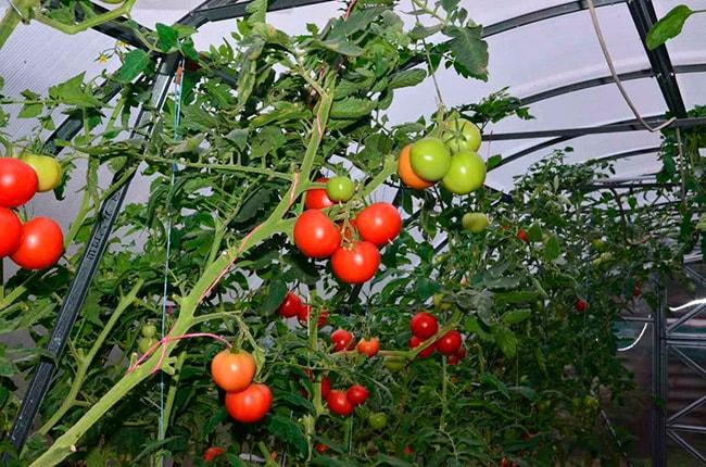 «Гибрид-Семко»-помидор-фото