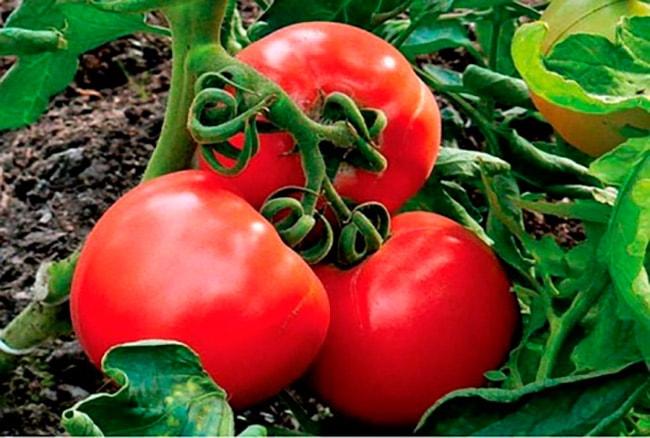 «Гилгал»-томат-фото