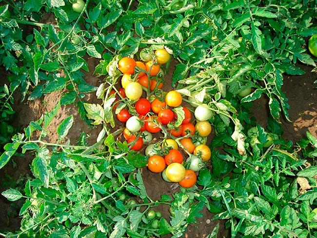 «Гном»-томат-фото