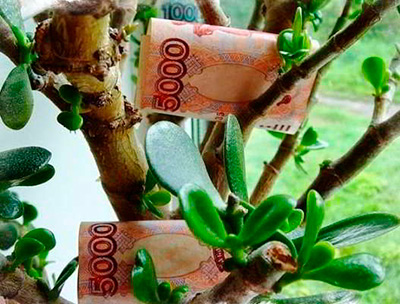 Как-садят-денежное-дерево-фото