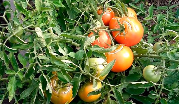 Как-выглядит-помидор-монгольский-карлик-фото