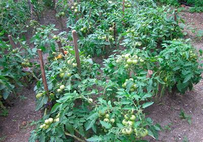 Как-выглядит-посадка-сорта-помидор-санька-фото
