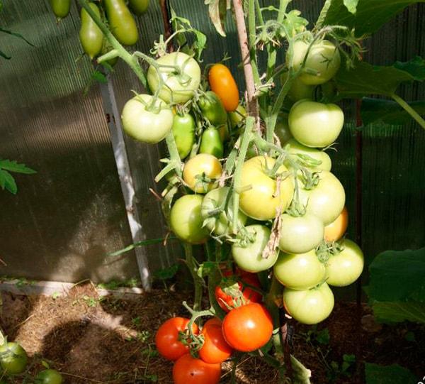 Как-выгядит-томат-Катя-фото