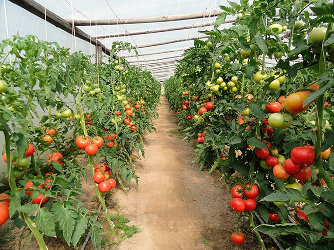 «Канна»-томат-фото