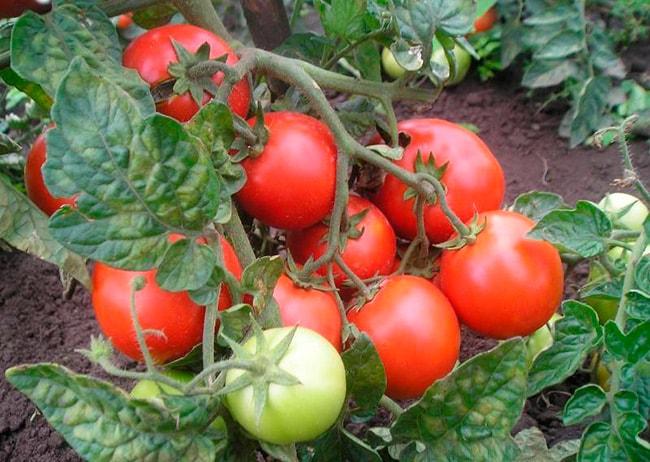 «Красная-шапочка»-томат-фото