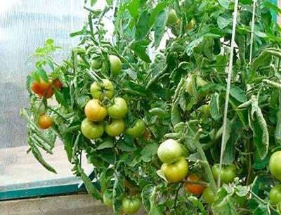 Куст-томата-катя-фото