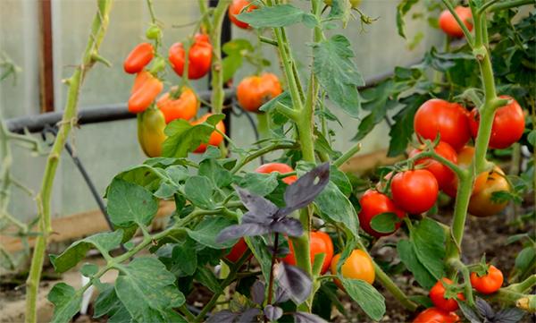 Куст-томата-санька-фото