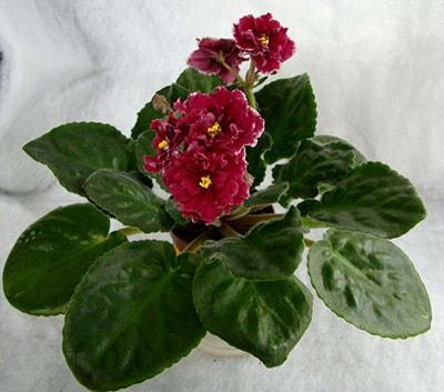 Маджента-фиалка-первое-цветение-фото