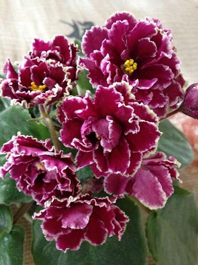Маджента-как-выглядят-цветы-фото