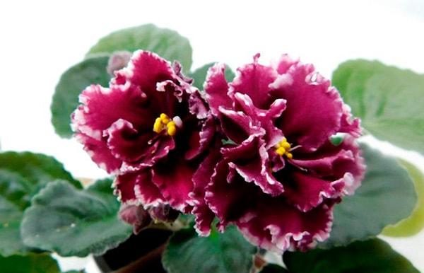 Маджента-пример-цветов-фото