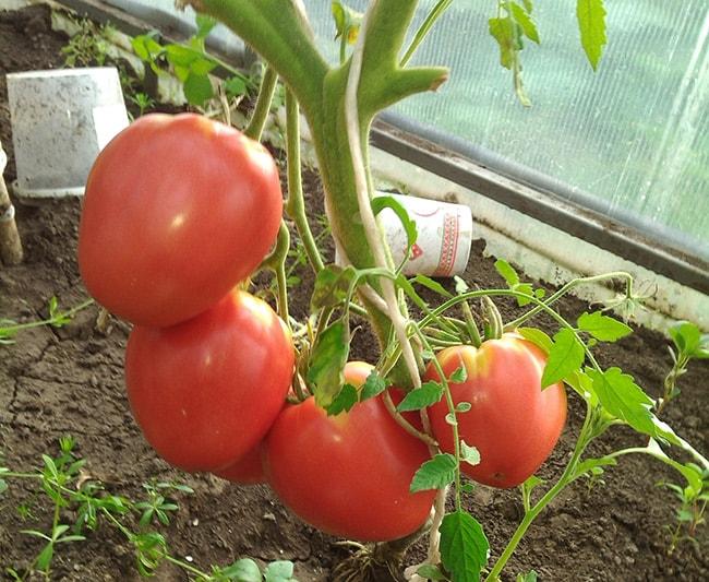 «Малиновый-сюрприз-F1»-томат-фото