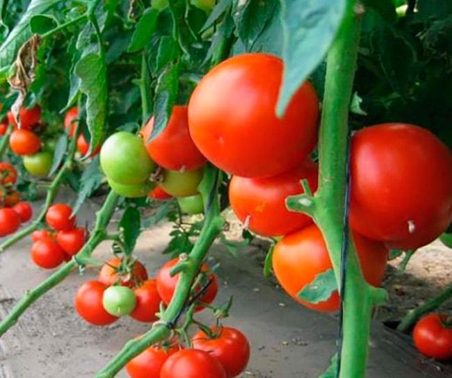 «Пабло-F1»-томат-фото