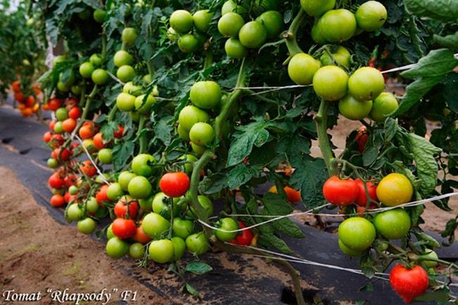 «Рапсодия-НК»-томат-фото