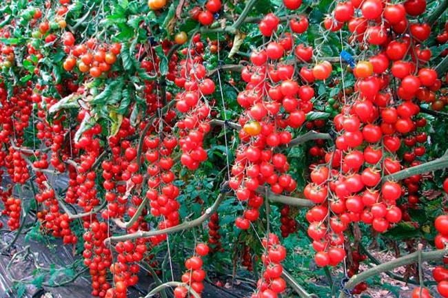 «Рапунцель»-томат-фото