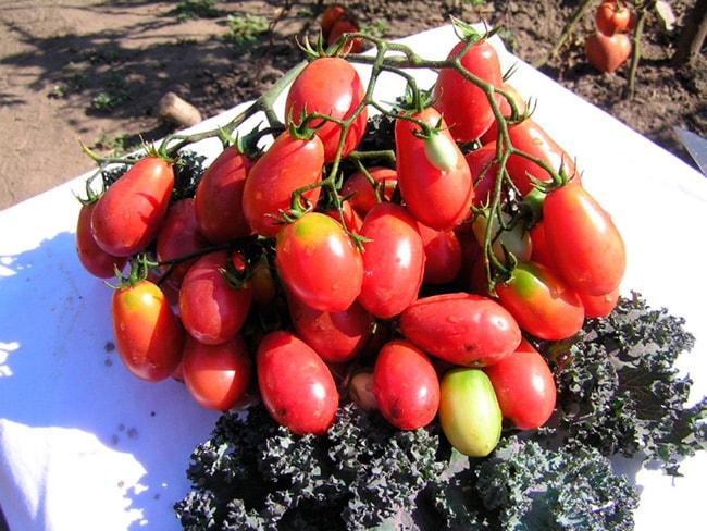 «Розовый-изюм»-томат-фото