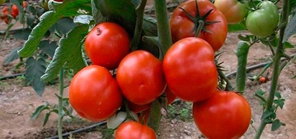Созревшие-помидоры-санька-фото
