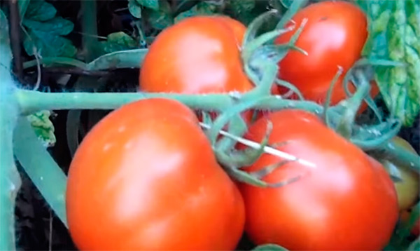Созревший-томат-санька-фото