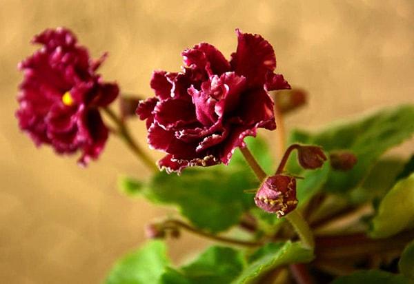 Цветок-Маджента-сенполия-фото