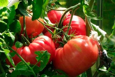 """Очень вкусный сорт томатов - """"Чудо земли"""""""