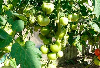 Зеленые-помидоры-катя-фото