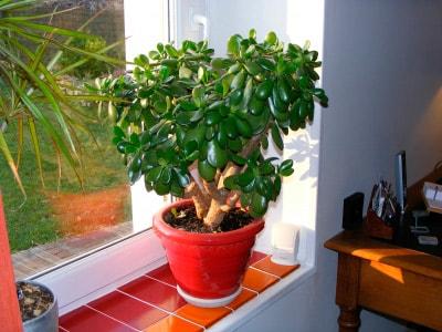 денежное-дерево-на-окне-фото