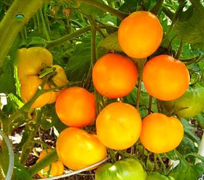 хурма-на-кусту-помидор-фото