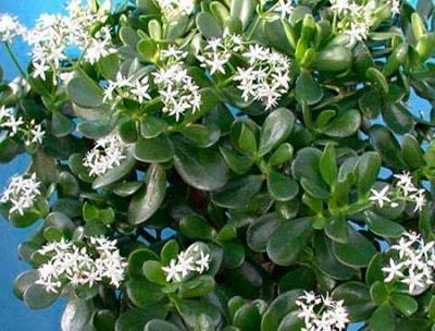как-цветет-дденежное-дерево-фото