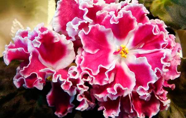 как-цветет-фиалка-амадеус-фото