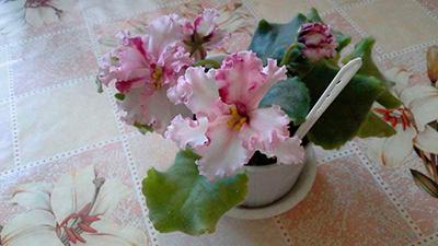 как-цветет-фиалка-взбитые-сливки-фото