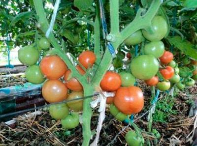 как-выглядит-куст-томата-катя-фото