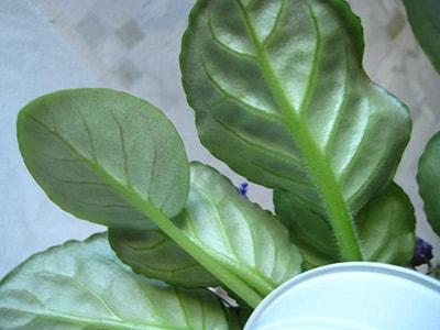 листья-сорта-фиалки-сияющий-колокольчик-фото