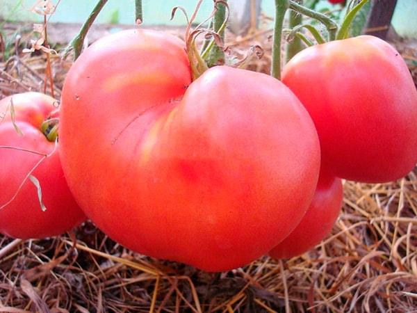 очень-вкусный-сорт-томатов-вельможа-фото