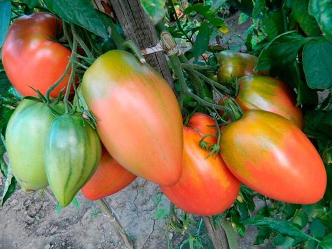 подсинское-чудо1-томат-фото