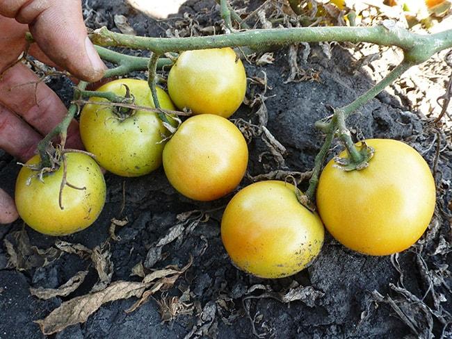 помидор-лонг-кипер-фото