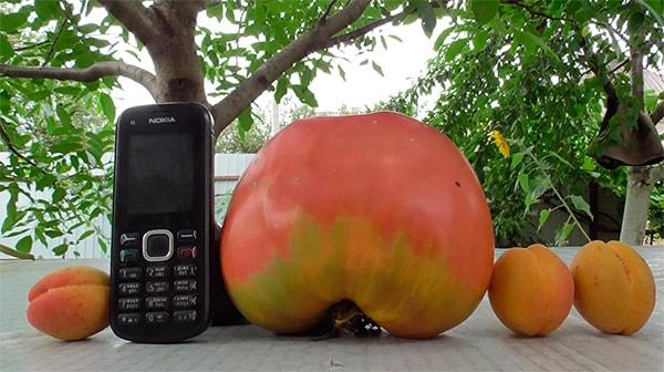 помидор-вельможа-фото