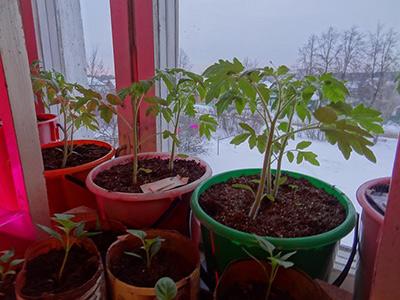 рассада-томатов-хурма-фото
