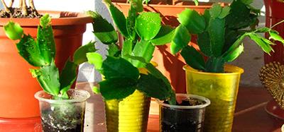 ростки-декабриста-фото