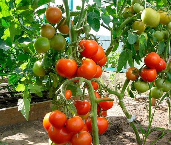 созревшие-томаты-катя-фото