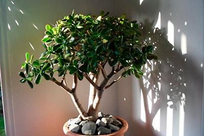 свет-падает-на-денежное-дерево-фото