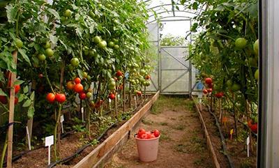 теплица-для-помидор-из-поликорбоната-фото