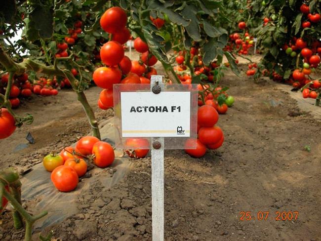 томат-«Астона-F1-»-фото